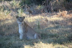 Lion partiellement aveugle Image stock