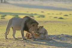 Lion patriarch rubbing faces or kissing with lioness Stock Images