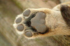 Lion paw stock photo