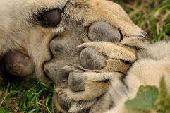 Lion paw. Closeup view on lion paw with pads Stock Image