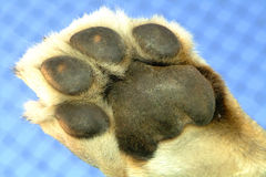 Lion paw Stock Photography