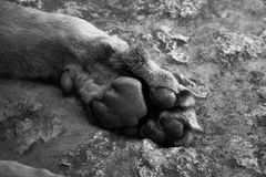 Lion paw in black and white Royalty Free Stock Photos