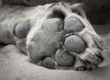 Lion Paw Closeup Fotografie Stock