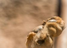 Lion Paw With Copy Space. On left side Royalty Free Stock Photos