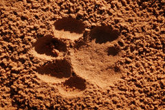 Lion paw imprint Royalty Free Stock Photo