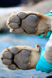 Lion paws Stock Photography