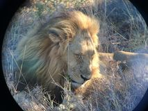 Lion at peace through the lens of a binocular Royalty Free Stock Image