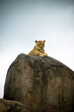 Lion on Peak Staring Down at Camera. Lion on rocky peak looking down into camera Royalty Free Stock Photo