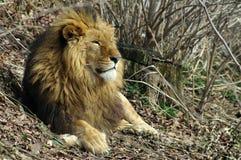 Feline. Powerful male lion. On lunch break royalty free stock photo