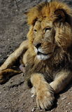 Feline portrait. Powerful male lion Royalty Free Stock Image