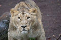 Lion Photo Stock Photos