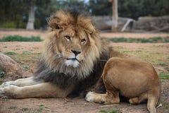 Lion. A photo of a lion taken in Australia Stock Photos