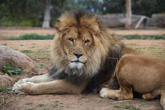 Lion. A photo of a lion taken in Australia Stock Images