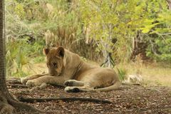 Lion. A picture of a lion Royalty Free Stock Photos