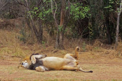 Lion Playfully Rolling in the African Savanna Stock Image
