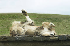 Lion Playfully Rolling Around Stock Photo