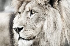 Lion. Portait lion in white lights Stock Photography