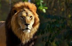 Lion portrait Stock Photo