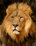 Lion Portrait. A male lion in a lion park near Johannesburg, South Africa Stock Photography