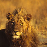 Lion portrait Royalty Free Stock Image