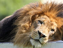 Lion Portrait Royalty Free Stock Photography