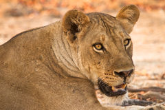 Lion portrait. Wild lion portrait, South Luangwa, Zambia Stock Photos
