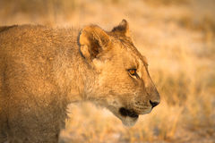Lion portrait. Wild lion portrait, Safari Etosha, Namibia Africa Royalty Free Stock Images