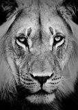 Lion Portrait. In Black and White stock image