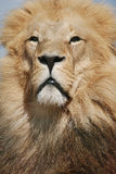 Lion Portrait Stock Photos