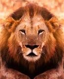 Lion Portrait Royalty-vrije Stock Foto