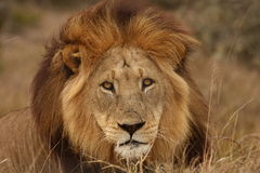 Lion portrait. Stock Photo
