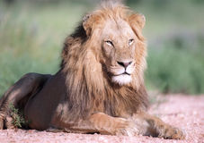 Lion portrait Stock Image