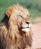 Lion portrait Stock Images