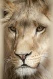 The Lion. A Portrait of a Lion Through The Bars stock photo