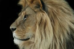 Lion portrait on black Royalty Free Stock Photo