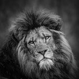 Lion portrait (black and white). Black and white portrait of a Male Lion stock images