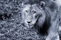 Lion portrait. Black and white picture of a Lion in Africa royalty free stock photography