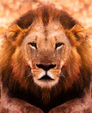 Lion Portrait. Close up portrait of an African Male Lion Royalty Free Stock Photo