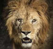 Lion portrait. Close-up picture of a lion`s head stock image