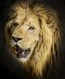 Lion portrait. Close-up picture of a lion`s head royalty free stock photo