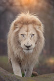 Lion portrait. Close up shot of africa lion portrait Royalty Free Stock Images