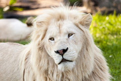 Lion portrait. Close up shot of white lion portrait Royalty Free Stock Images