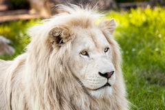 Lion portrait. Close up shot of white lion portrait Royalty Free Stock Image