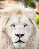 Lion portrait. Close up shot of white lion portrait Stock Photo