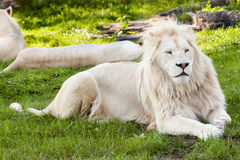 Lion portrait. Close up shot of white lion portrait Stock Image