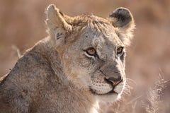 Lion Portrait Stock Image