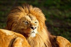 Lion - portrait dans le jour ensoleillé Photographie stock libre de droits