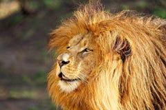 Lion - portrait dans le jour ensoleillé Photos libres de droits