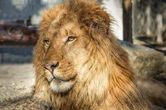 Lion Portrait, Farbbild Lizenzfreies Stockfoto