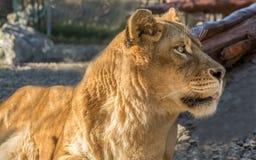 Lion Portrait, Farbbild Stockbild